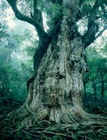 縄文杉 25488017298| 写真素材・ストックフォト・画像・イラスト素材|アマナイメージズ