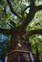 那智の樟 熊野那智大社 25488020890| 写真素材・ストックフォト・画像・イラスト素材|アマナイメージズ