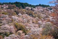 シロヤマザクラ咲く吉野山上千本