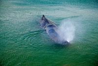 マッコウクジラ 内之浦湾