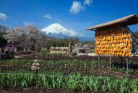桜とトウモロコシと富士山