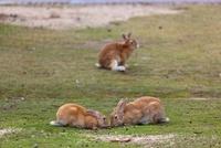 ウサギの楽園 大久野島 25488027365| 写真素材・ストックフォト・画像・イラスト素材|アマナイメージズ