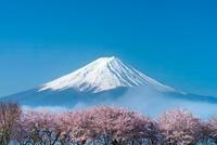 サクラと朝霧と富士山 25488028231| 写真素材・ストックフォト・画像・イラスト素材|アマナイメージズ