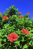 ハイビスカス 馬坂園地 25488035061| 写真素材・ストックフォト・画像・イラスト素材|アマナイメージズ