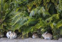 ウサギの楽園 大久野島 25488037644  写真素材・ストックフォト・画像・イラスト素材 アマナイメージズ