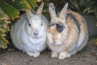 ウサギの楽園 大久野島 25488037645  写真素材・ストックフォト・画像・イラスト素材 アマナイメージズ