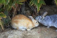 ウサギの楽園 大久野島 25488037650  写真素材・ストックフォト・画像・イラスト素材 アマナイメージズ