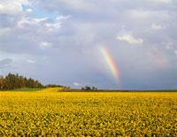 ヒマワリ畑と虹 25516005175| 写真素材・ストックフォト・画像・イラスト素材|アマナイメージズ