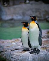 王様ペンギン 上野動物園