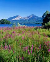 ミソハギ咲く桧原湖より望む磐梯山