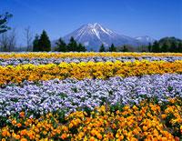 ビオラ咲くとっとり花回廊から望む大山