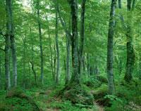 白神山地 ブナ原生林