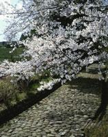 東海道桜咲く金谷坂