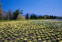 ビオラ咲くとっとり花回廊より大山