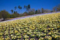 ビオラ咲くとっとり花回廊