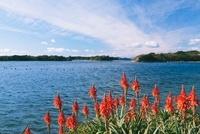 アロエの花と英虞湾