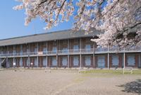 桜咲く富岡製糸場 西繭倉庫