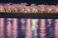 桧木内川と桧木内川堤の桜並木ライトアップ 25516043975| 写真素材・ストックフォト・画像・イラスト素材|アマナイメージズ