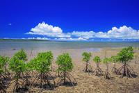 名蔵湾のマングローブ(ヤエヤマヒルギ) 石垣島