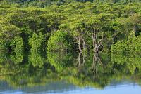 船浦湾 マングローブ林 西表島