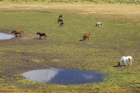 秋の草千里 放牧馬 阿蘇 25516049618| 写真素材・ストックフォト・画像・イラスト素材|アマナイメージズ