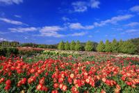 ダリア咲く世羅高原農場 25516049657| 写真素材・ストックフォト・画像・イラスト素材|アマナイメージズ