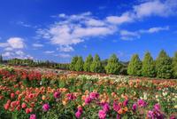 ダリア咲く世羅高原農場