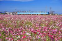 コスモスと近江鉄道八日市線(万葉あかね線) 近江八幡駅〜武佐駅