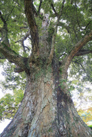 釜尾の天神木 イチイガシ 25516049827| 写真素材・ストックフォト・画像・イラスト素材|アマナイメージズ