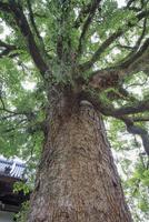 妙蓮寺の樟 25516049831| 写真素材・ストックフォト・画像・イラスト素材|アマナイメージズ