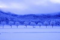 樹氷の木立と朝霧 25516049896| 写真素材・ストックフォト・画像・イラスト素材|アマナイメージズ