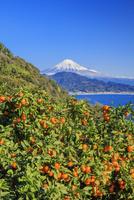 さった峠よりミカンと富士山