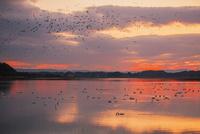 伊豆沼朝景 伊豆沼・内沼の鳥類およびその生息地