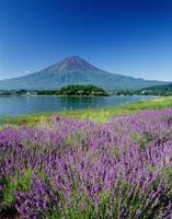 ラベンダーと富士山と河口湖