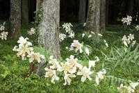 森の中に咲くヤマユリ