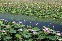 ハスの花咲く伊豆沼