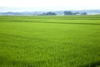 青田の田園