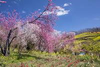 チューリップ畑と花見山