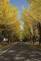 秋の北大イチョウ並木 25533002397| 写真素材・ストックフォト・画像・イラスト素材|アマナイメージズ