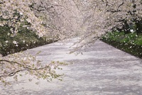 弘前城 外濠の桜