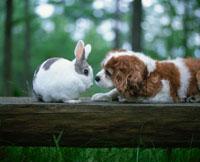 ウサギと犬(キャバリアキングチャールズスパニエル)