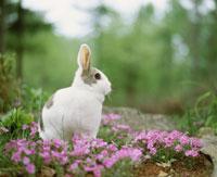 ウサギとシバザクラ