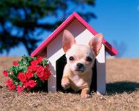チワワと犬小屋