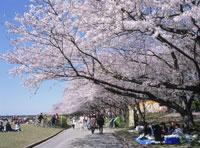 宮川堤のサクラ宮川堤公園で花見をする人々