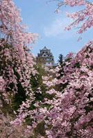 枝垂れ桜と郡上八幡城
