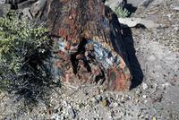 ジャスパーフォレストの木の化石・珪化木