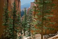 ナバホループ・トレイルの峡谷に生えるダグラスファーの木