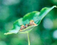 いもの葉にアマガエル