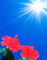 ハイビスカスと太陽 25609005761| 写真素材・ストックフォト・画像・イラスト素材|アマナイメージズ