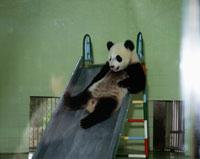 上海動物園の子パンダ
